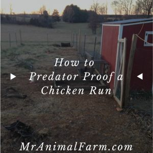 How to Predator Proof Chicken Run