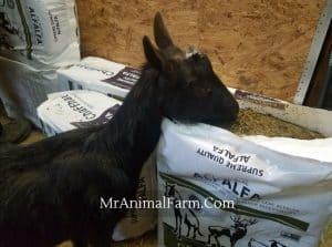 goat eating chaffhaye