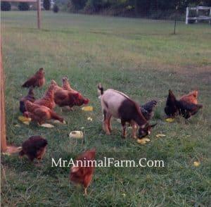 goats eating veggie scraps