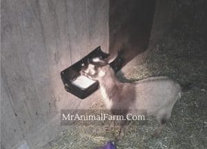 goat eating minerals from feeder