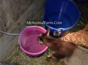 goat drinking from heated water bucket