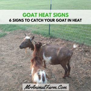 Goat Heat Signs – 6 Signs to Tell Your Goat is in Heat