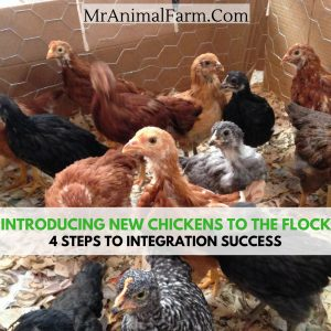 Introducing New Chickens To The Flock
