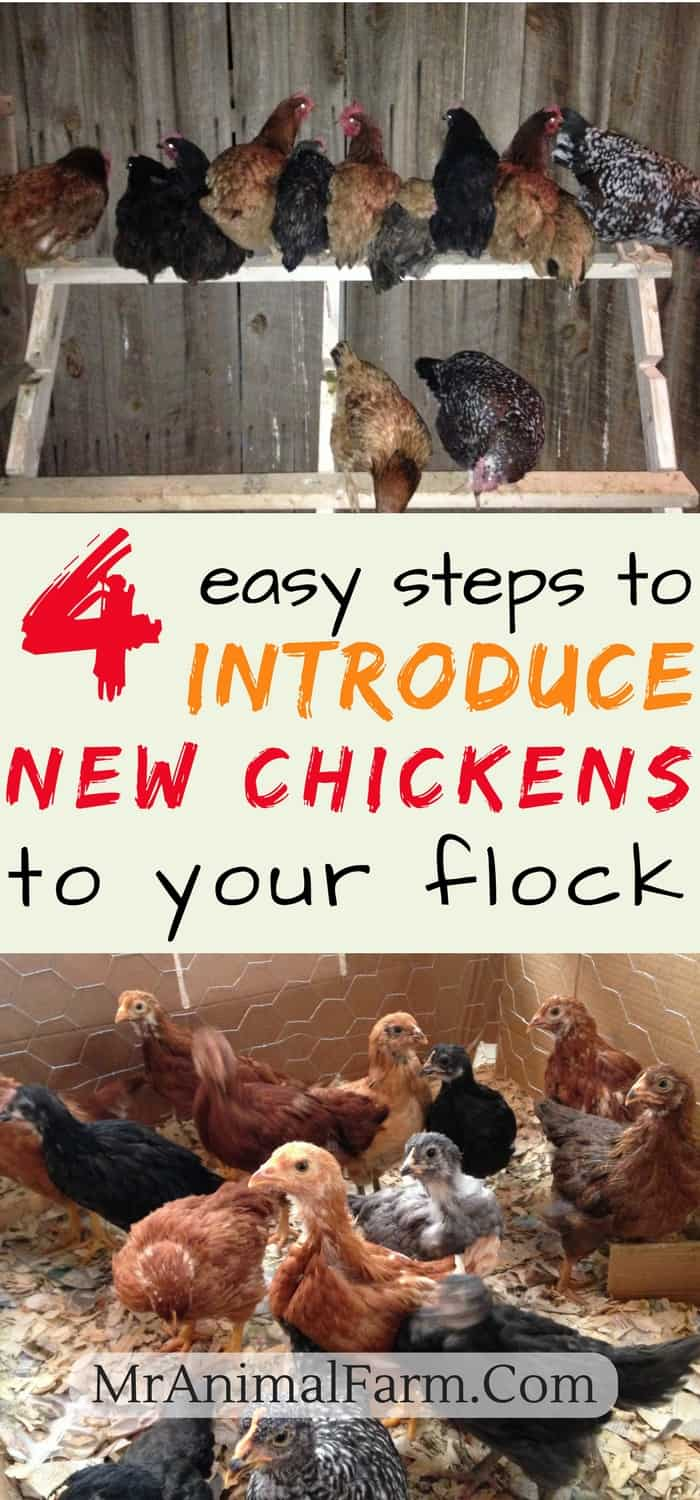 """pinterest image for Introducing New Chickens To The Flock. Top image: flock of chickens on roost. bottom image: juvenile chicks in brooder. Middle text says, """"4 easy steps to introduce new chickens to your flock"""""""