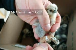 silkie chick with band aid on it's leg