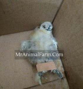 chick with band aid in place for treatment