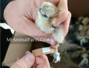 placing a band aid on a chicks leg
