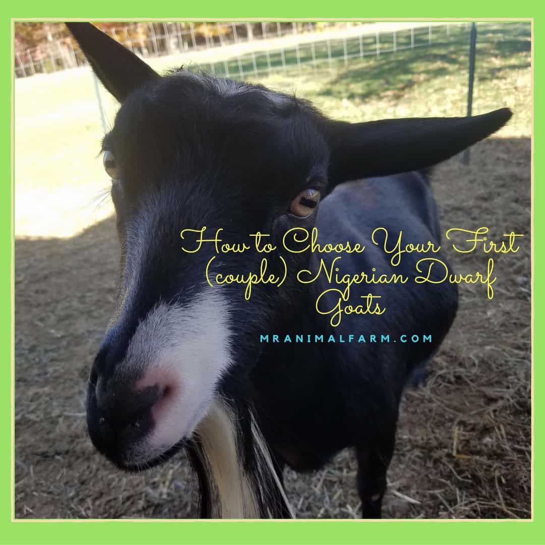How to Choose Your First (couple) Nigerian Dwarf Goats