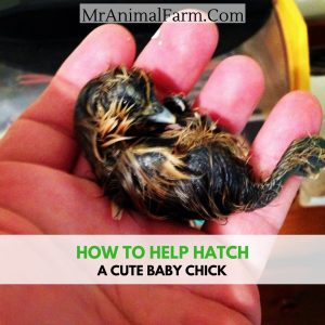help a chick hatch