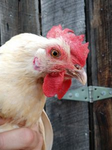 When do chickens start to lay eggs?  Red comb and wattles are one sign.