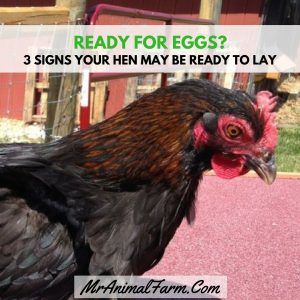 3 Signs Your Hen May be Ready to Lay