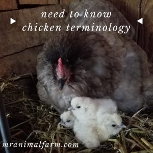 Chicken Terminology