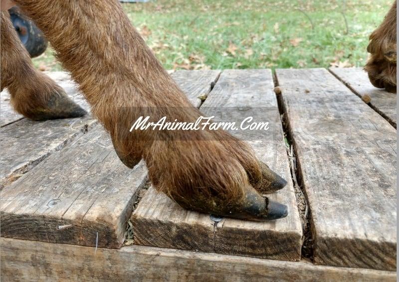 untrimmed goat feet
