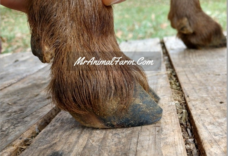 trimmed goat hooves