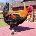 French Black Copper Marans Rooster