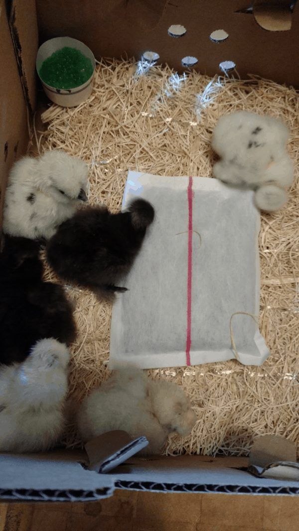 Paint Silkie Chicks
