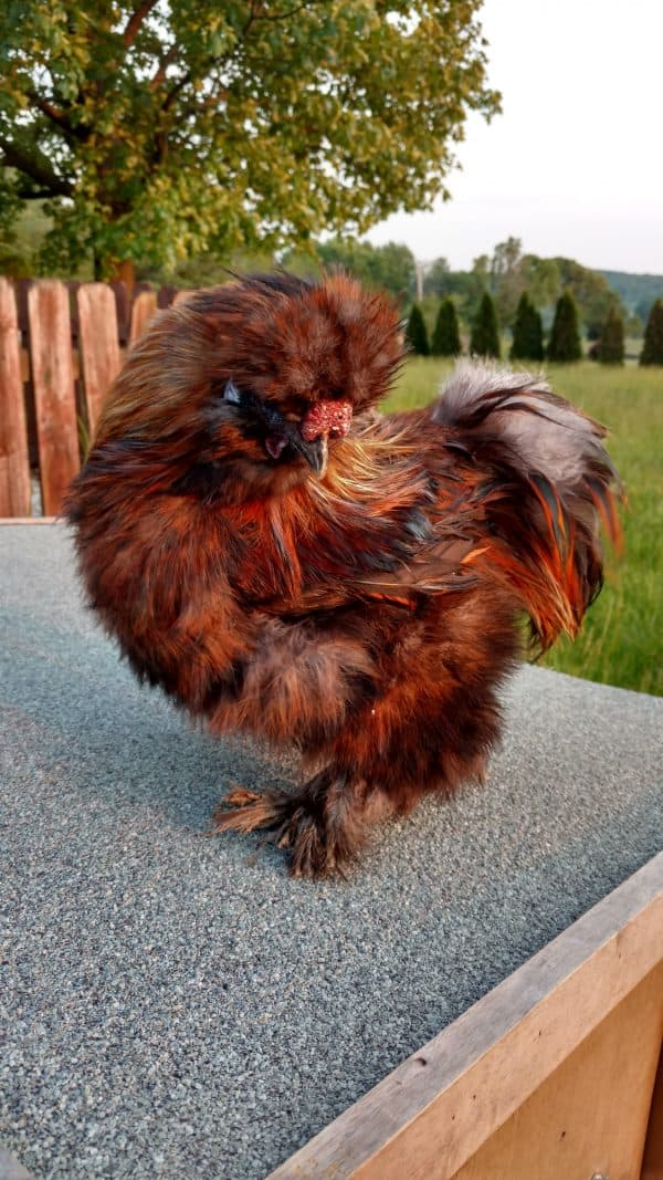 Partidge Silkie Rooster
