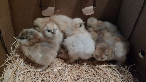 Porcelain Silkies Chicks