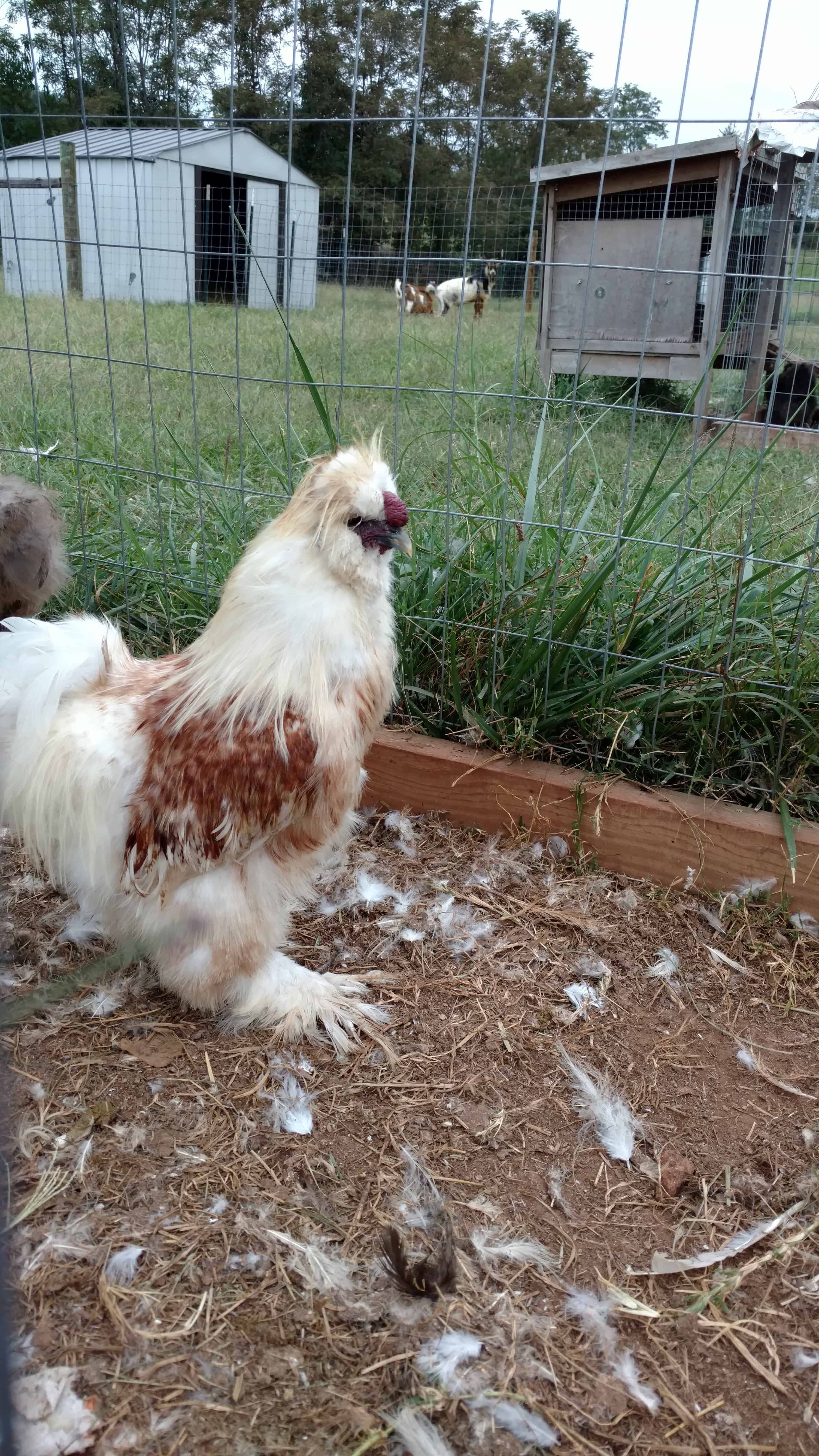 Red Pyle Silkies Rooster 1