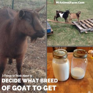 How to Decide what breed of goat