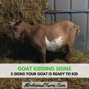5 Signs Your Goat is Ready to Kid