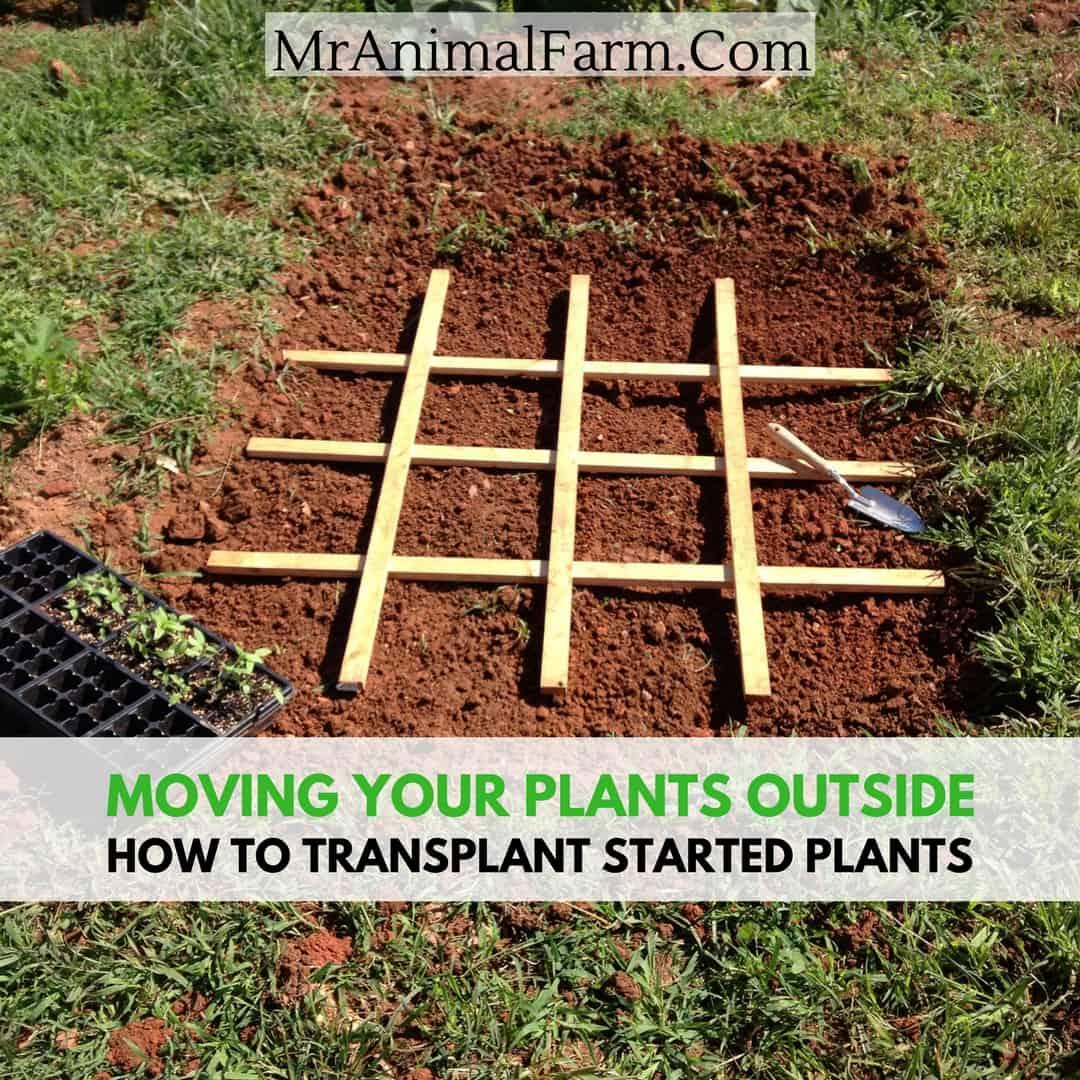 How to Transplant Started Plants - Mranimal Farm
