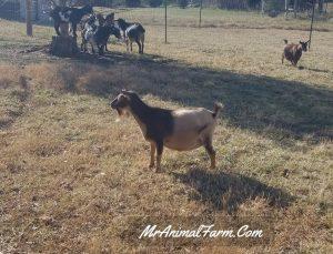 goat in pasture