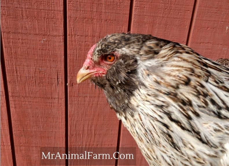 easter egger chicken