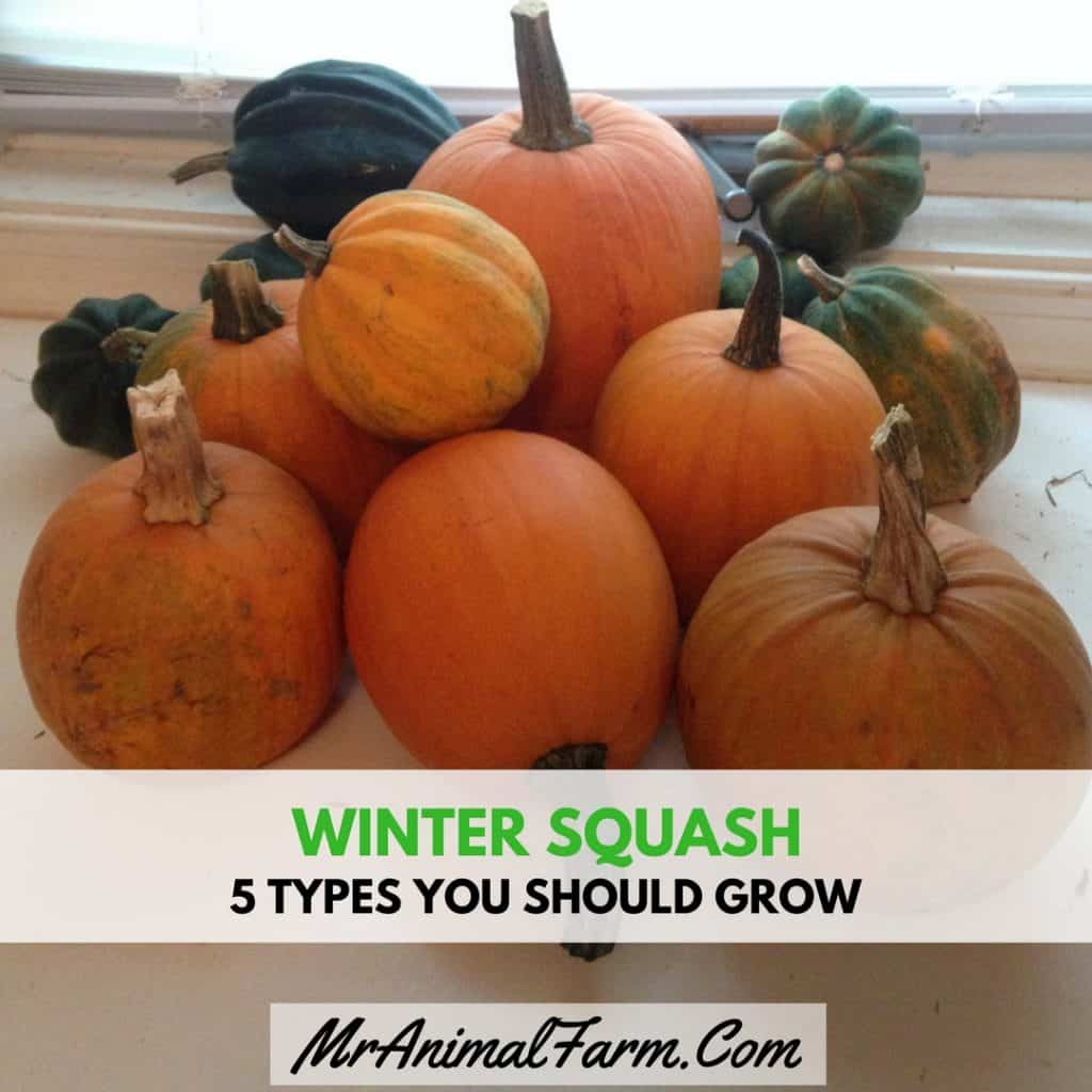 feature image for winter squash. variety of qinter squash on counter top