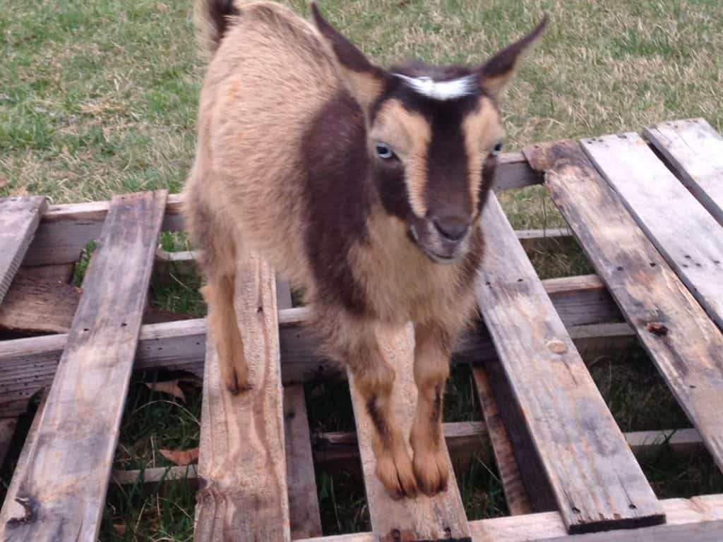 nigerian dwarf goat on a pallett