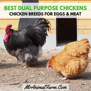 Best Dual Purpose Chicken Breeds - Chicken Breeds for Eggs and Meat
