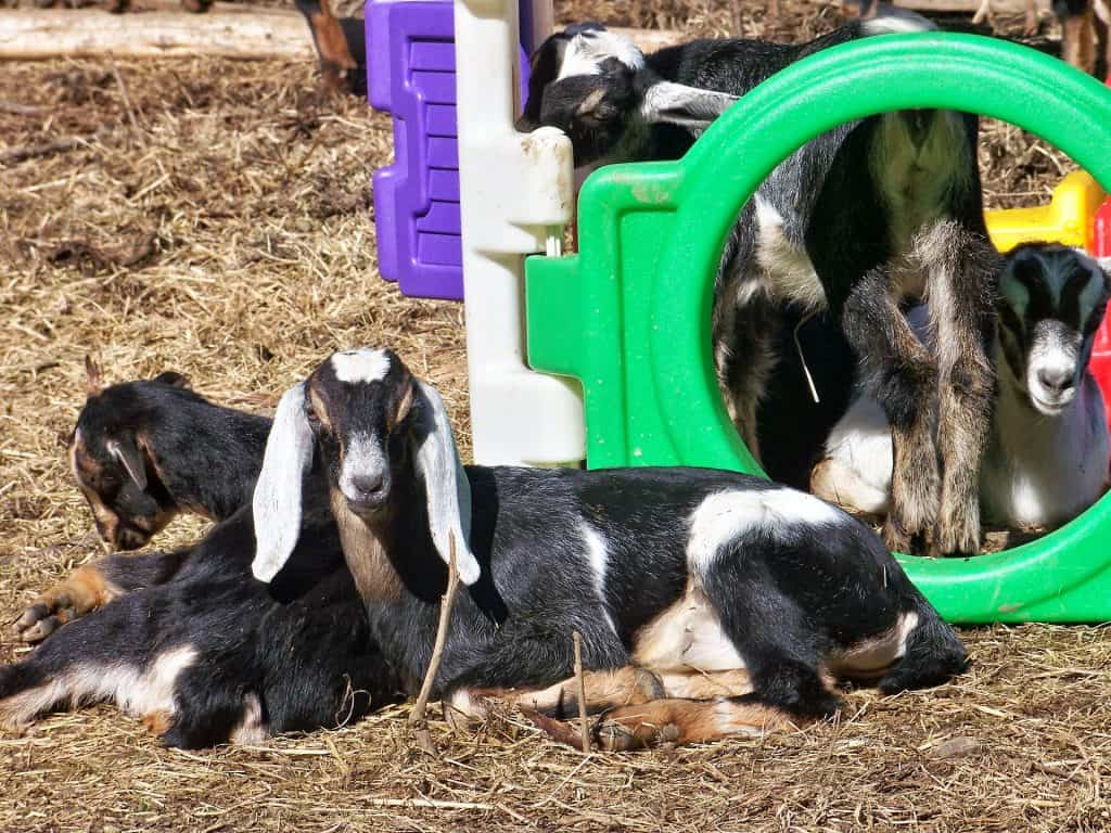 Nubian Goats in a playhouse