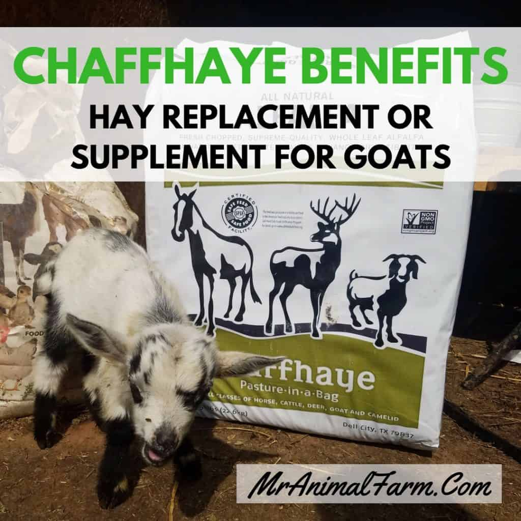 Chaffhaye benefits feature image with baby goat in front of chaffhaye bag