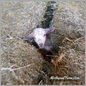 baby goat in between bales of hay
