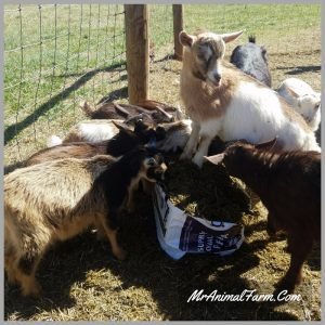 group of baby goats eating chaffhaye from the bag