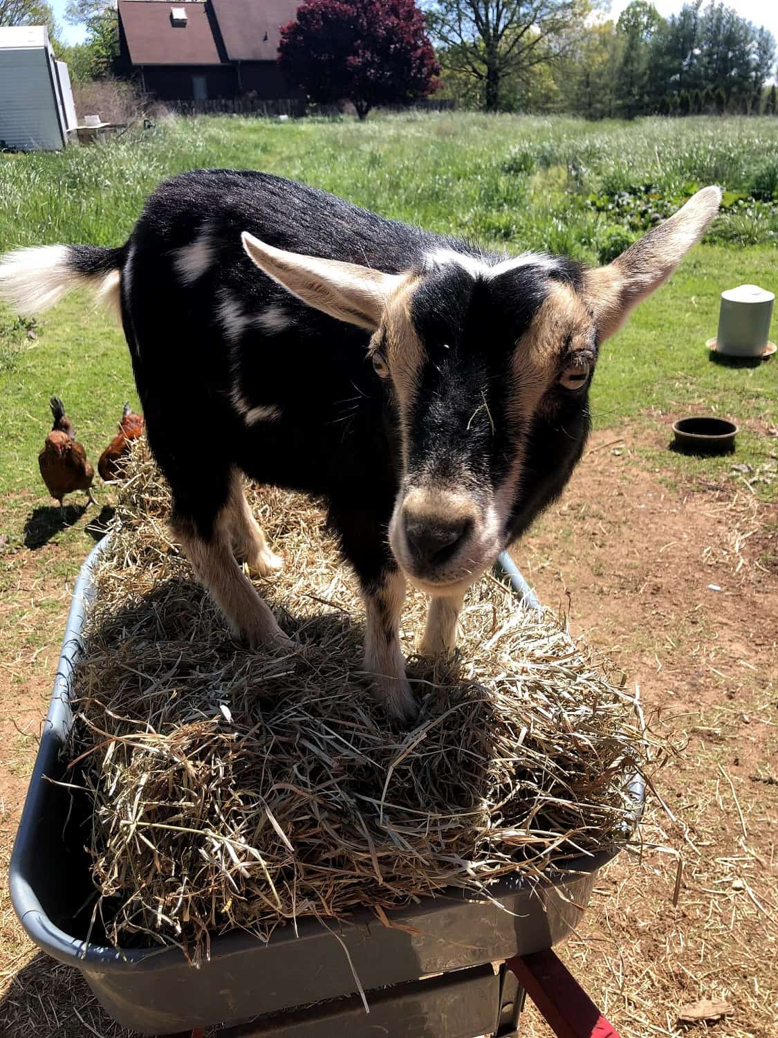 goat standing on hay bale in wheelbarrow
