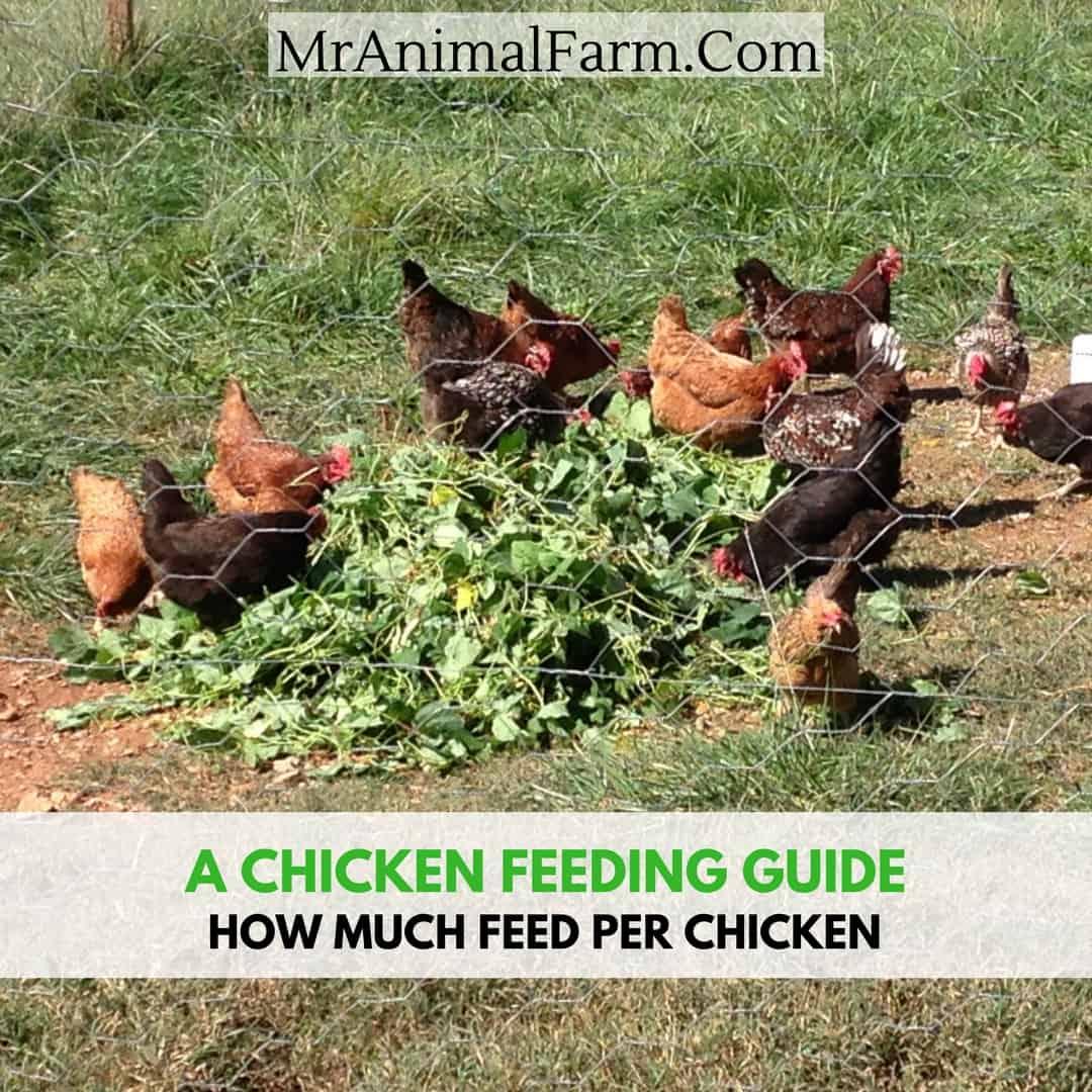 Chicken Feeding Guide: How Much Feed Per Chicken