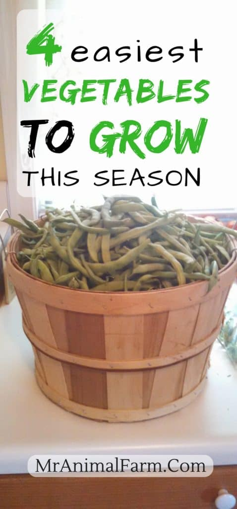 "pinterest image of a basket of green beans. text reads, ""4 easiest vegetables to grow this season"""