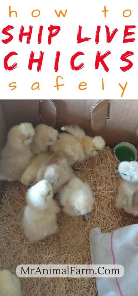 How to Ship Live Chicks