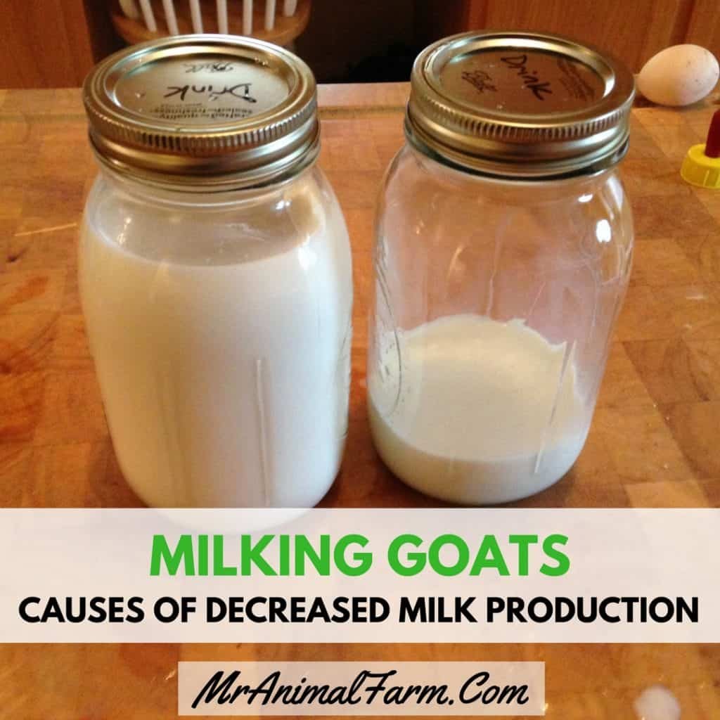 feature image for Milking Goats – Causes of Decreased Milk Production in Goats. close up of 2 mason jars of milk