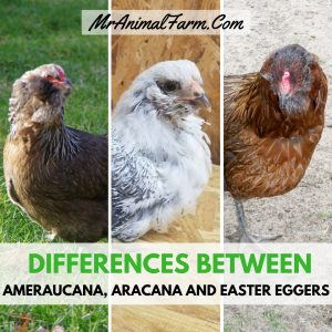 Differences Between Ameraucana, Aracana and Easter Egger Chickens