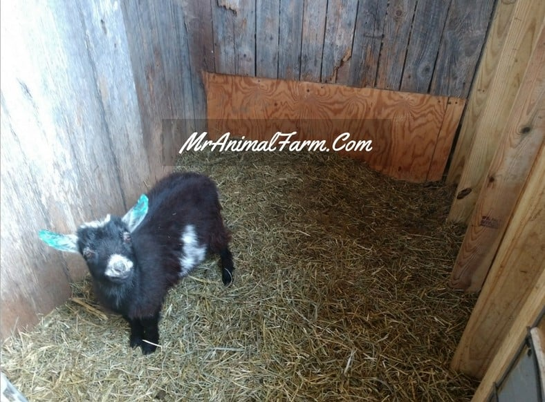 goat in stall with deep bedding