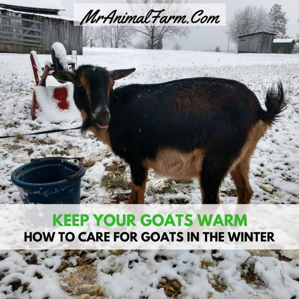 How To Care For Goats In Winter