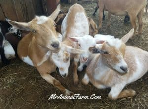Nigerian Dwarf Goats - The Ultimate Guide to All You Need to