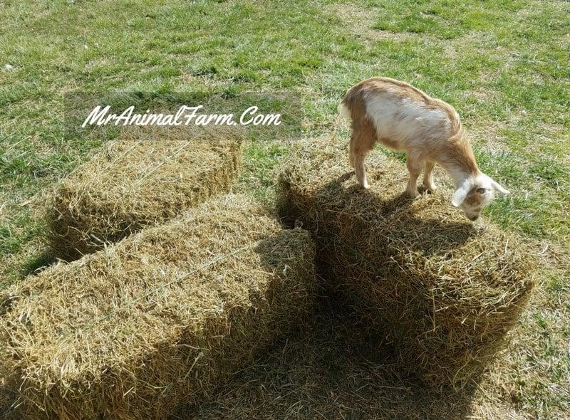 goat on hay bale