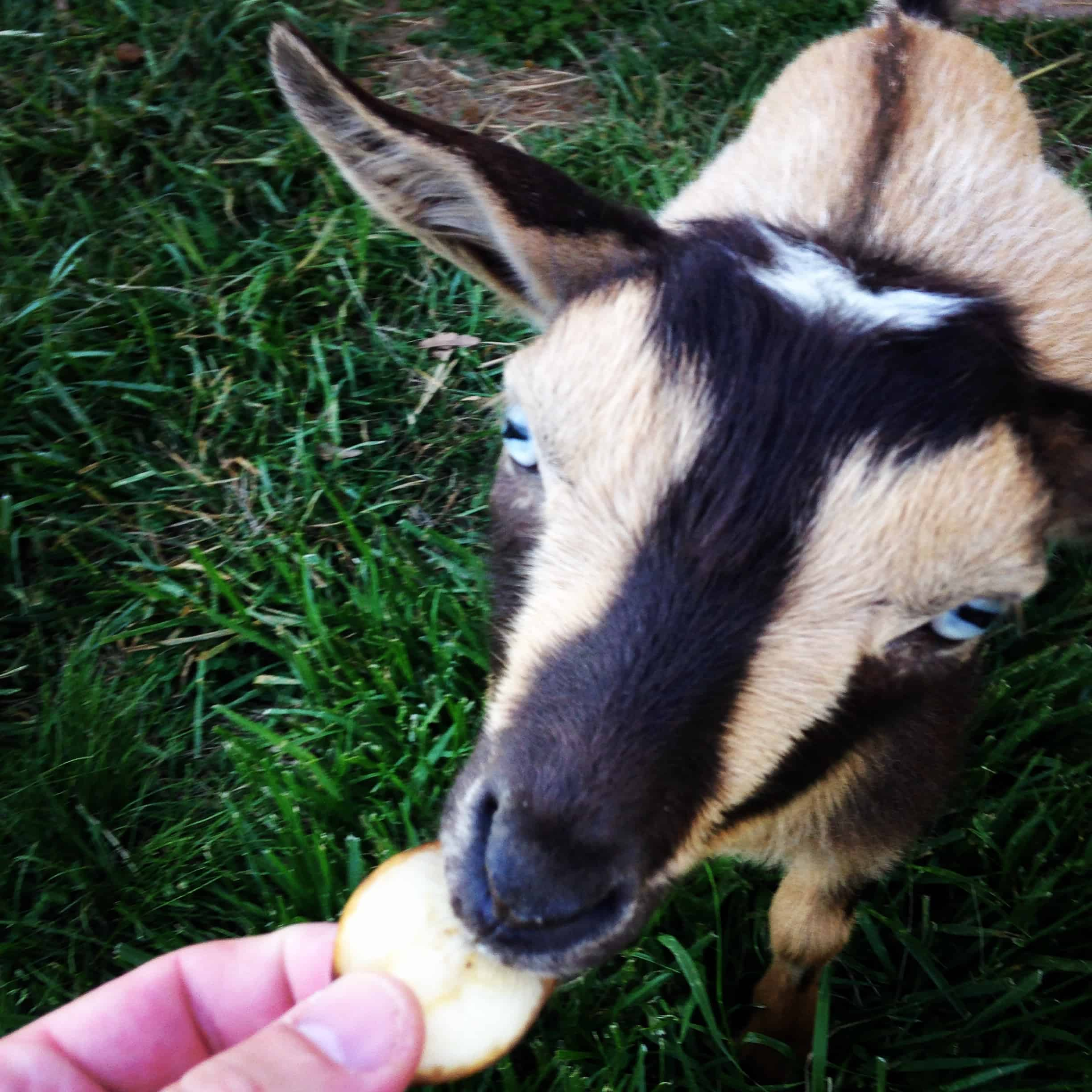 goat eating banana slice