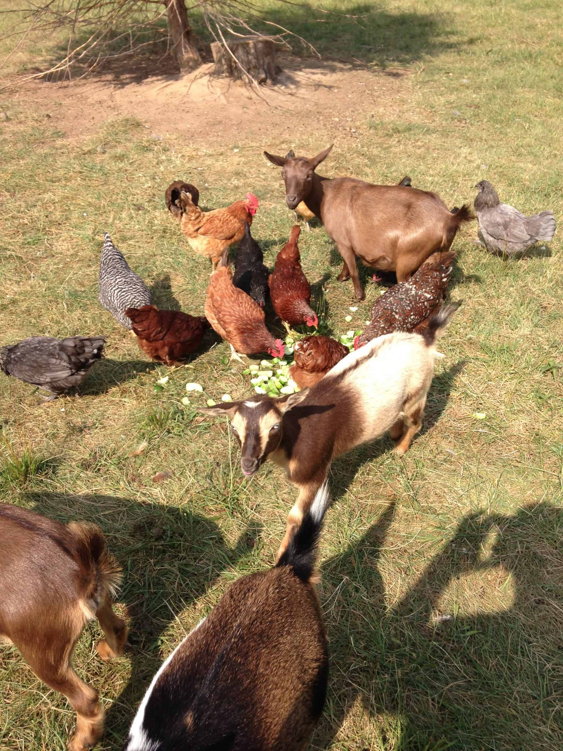 goats and chickens eating garden scraps