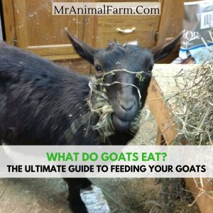 "feature image with goat eating hay. Text reads, ""What do goats eat? the ultimate guide to feeding your goats"""