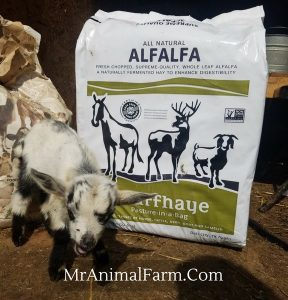 baby goat in front of Chaffhaye bag