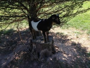 goat standing on stump under tree